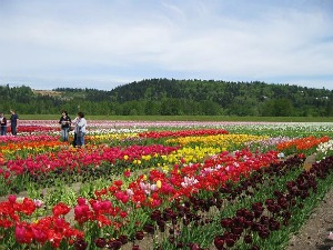 Acres and acres of tulips at the Holland America Bulb Farm in Woodland, WA.  Photo: KGilb.