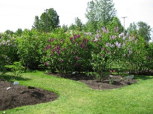 The lilacs are blooming at the 2011 Hulda Klager Lilac Festival in Woodland, WA.