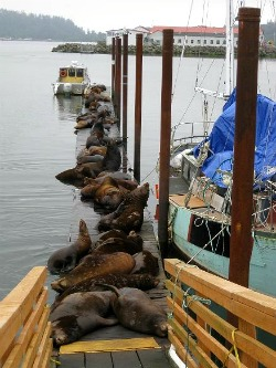 Sea Lions take over the docks at Pier 36 in Astoria, OR.  Photo: KGilb.