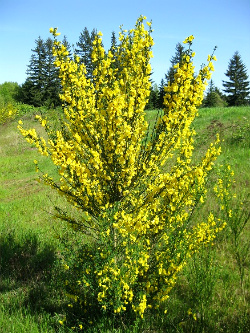 Scotch Broom in bloom. Vancouver WA. Photo: KGilb.
