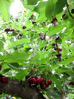 Juicy red cherries ready to be picked. Photo: KGilb.